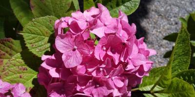 坐間神社の紫陽花