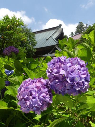 「大中寺」のアジサイ_2019_たくさんの花が綺麗に咲いていて見頃です(栃木市・大平町)