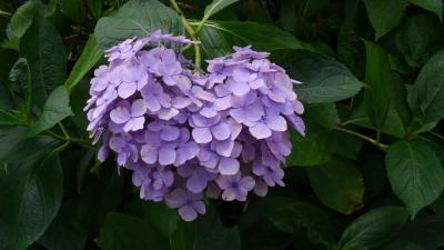 2019年6月 梅雨には紫陽花を観に行こう♪西国三十三ヶ所巡礼 =10番 三室戸寺=