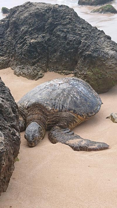 シェラトンに泊まる6泊8日のハワイ旅行part4~ハレイワ、サクララウンジハレでのんびり~