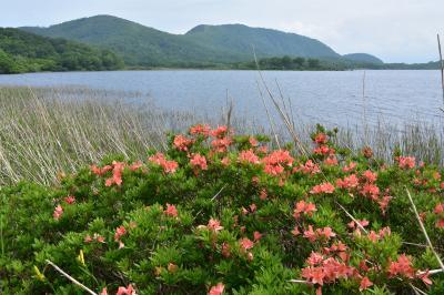 雄国沼 ニッコウキスゲの開花状況は