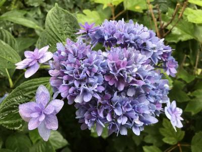 本土寺にてアジサイと庭を楽しむ