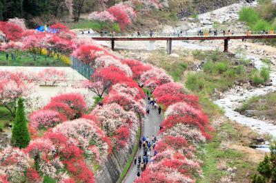 長野・岐阜・富山 ぐるっとドライブ1200㎞ (2)まさに桃源郷!阿智村の花桃に大感激