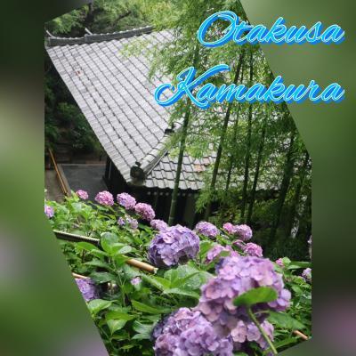 梅雨の鎌倉、紫陽花巡り  2019年 6月