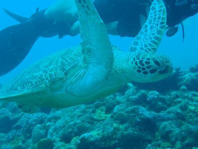 夏!!沖縄 初めてのダイビングでアオウミガメの親子と遭遇