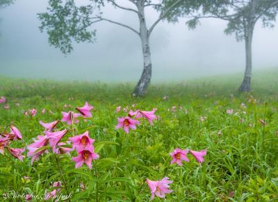 霧が漂うヒメサユリの草原と新緑がまぶしい観音沼
