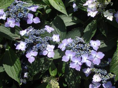 ぬかた園地 紫陽花園