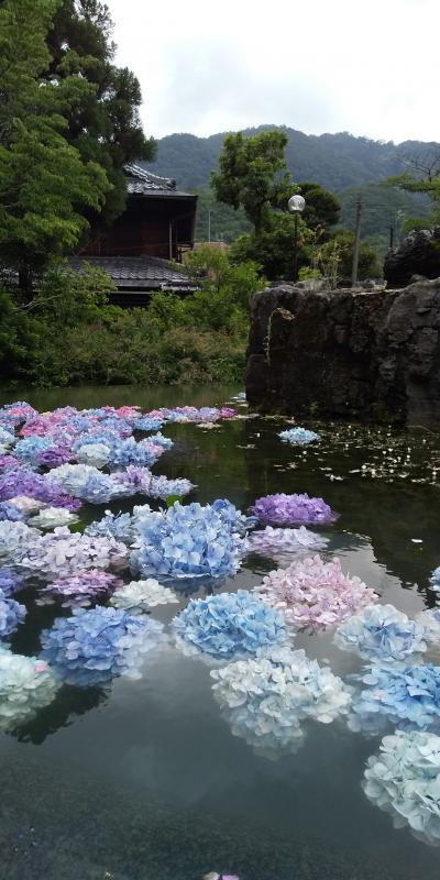 水に浮かぶ紫陽花の美しさに魅せられる
