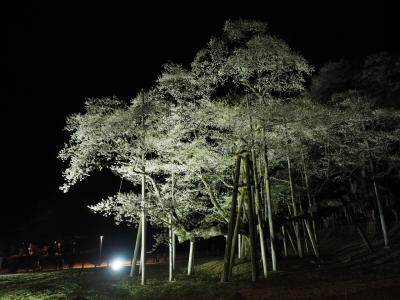 2019.04 桜と庭園巡る春旅(7・番外編)日本三大桜・根尾の淡墨桜ライトアップを鑑賞しよう