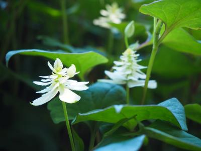 【北海道】北海道大学 薬用植物園