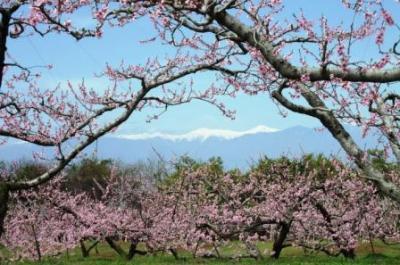 笛吹市桃の花まつり