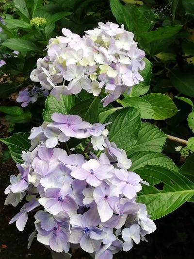 辰ノ口親水公園の紫陽花