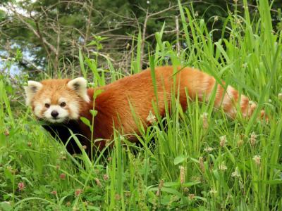 茶臼山動物園 茶レパンダ大お誕生会前日・・・偉大なる茶臼の父・キキ君を偲びに茶臼山へ