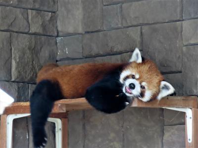 浜松市動物園 祝、キララちゃん出産!! レッサーパンダの七夕イベント!! キララちゃんまさかの欠席でチイタ君一匹で頑張る!!