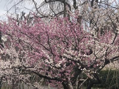 東谷山の梅