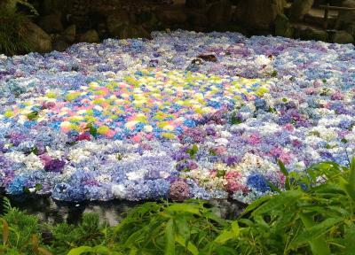 池に浮かべた紫陽花が素敵すぎる★雨引観音