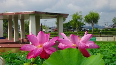 加東市の平池公園で花蓮の鑑賞 上巻。 (あわや高速で交通事故・・・携帯で警察に連絡)