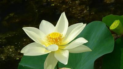 加東市の平池公園で花蓮の鑑賞 下巻。