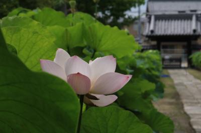 花から花へ花巡り  ハスのお寺、松平あじさい&名鉄竹村駅近くのハス畑♪