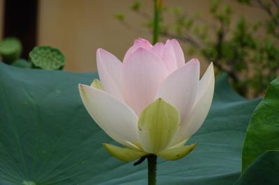 初夏の京都 緑眩しい梅雨時の京都・比叡山に癒される③ 3日目 渉成園の蓮 京都のお土産