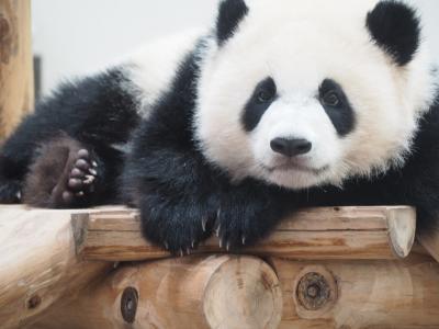 パンダに会いに今年3回目のアドベンチャーワールドへ