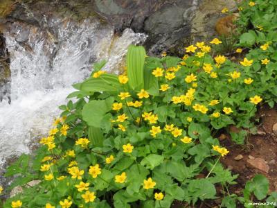 2019夏の花旅(2)栂池自然園