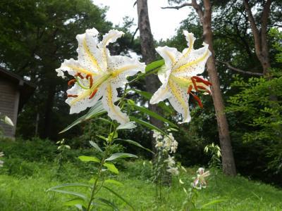 「はちす権現山」のヤマユリ_2019_群生とか密生ではありませんが、綺麗に咲いています(群馬県・伊勢崎市)
