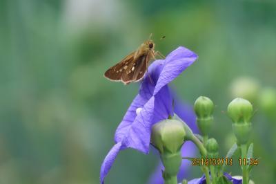 2019年森のさんぽ道で見られた蝶(26)イチモンジセセリ、モンキチョウ、その他