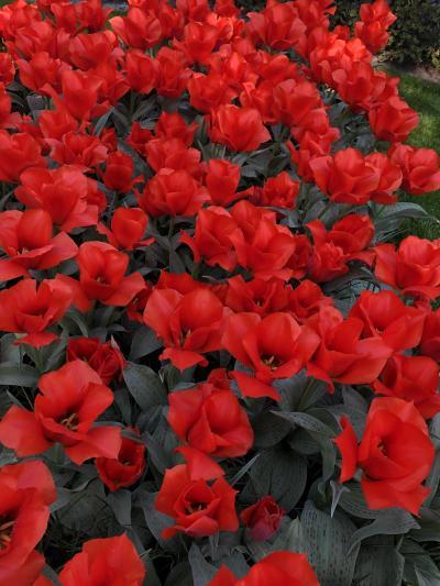 4月のベルギー&オランダの旅  キューケンホフ公園