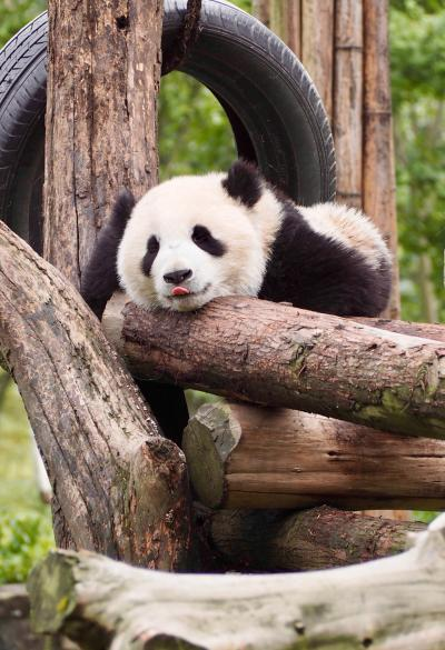 2019年子連れ中国の旅(2)~無座にもめげず、パンダに会いに青城山