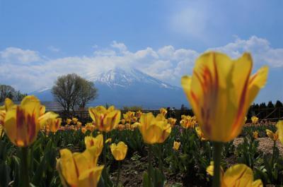 2019年5月 GW後半戦、富士芝桜まつりの後、風穴氷穴観光、ほうとう小作でランチ、花の都公園にチューリップとネモフィラを見てきました