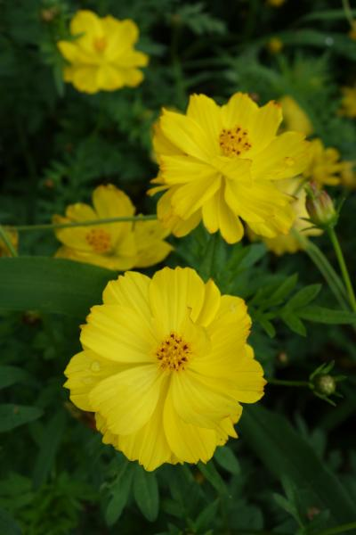 20190715-2 浜離宮庭園 雨上がりのお花畑は、キバナコスモスが咲き始め