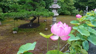 京都妙心寺 退蔵院 蓮見の会