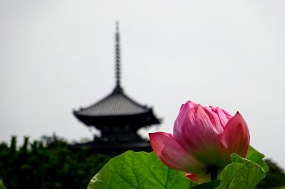横浜ハスめぐり 馬場花木園、三溪園
