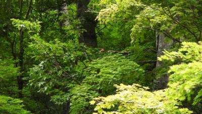 アカショウビンを追え!第二話:Chase the red god in the primeval forest !の巻。