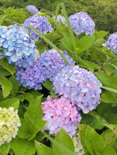 【葉山】紫陽花と葉山イタリアン