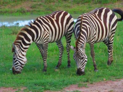 543. Kenya マサイマラでサファリDAY1 [ケニア1回目編Part2]