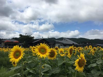 京の週末 京北でひまわりリベンジ(*'ω'*)