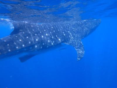 遺跡とセノーテとリゾートのカンクン⑤ジンベイザメとイスラ・ムヘーレス島
