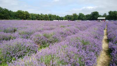ロンドン郊外 夏のラベンダー畑へ