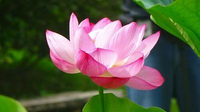 万博公園の日本庭園に咲く花蓮を見に行きました(3) 日本庭園の花蓮 上巻。