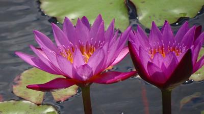 万博公園の日本庭園に咲く花蓮を見に行きました(5) バラ園から自然文化園のなかを歩く。
