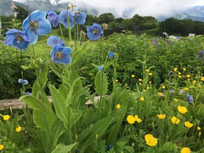 初夏の白馬五竜高山植物園、ヒマラヤの青いケシ