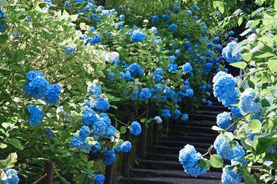 紫陽花見物で鎌倉へー明月院・東慶寺・浄智寺・長谷寺・御霊神社ー