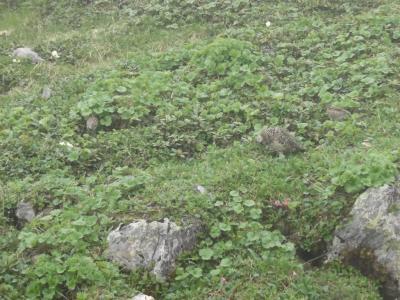 ライチョウとハクサンシャクナゲの仙丈ヶ岳