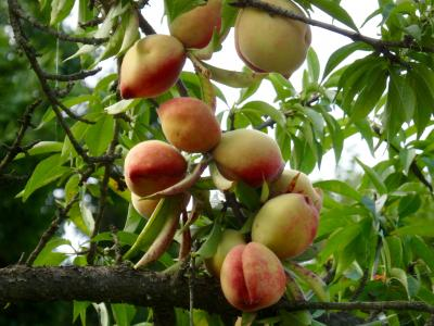 桃を買いに福島フル~ツライン
