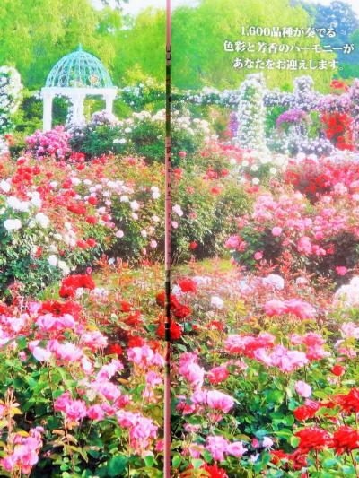 京成バラ園-1 お出迎え=ディズニーランド ローズで ☆春バラ-1万株の花-見始めに