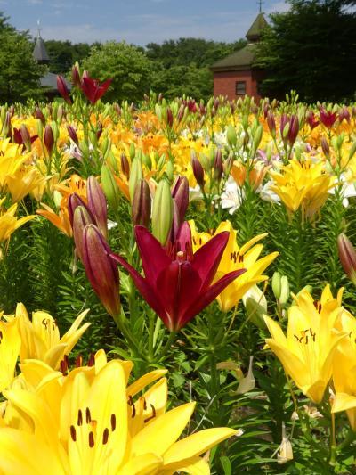 「深谷グリーンパーク」のユリ_2019_全体的には7~8分咲きですが、とても綺麗で見頃です。(埼玉県・深谷市)