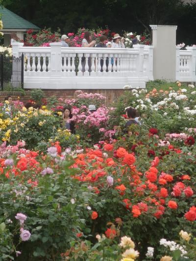 京成バラ園-5 プリンセス-を冠した名華も咲いて ☆春バラ花ざかりに 多彩な色/姿