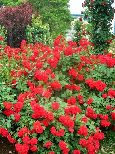 京成バラ園-7 イギリス式庭園 自然の景観を再現し ☆WildRose‐逞しい野バラ-池畔も